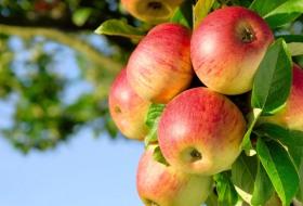 남아도는 국산 사과, 베트남산 커피와 맞교환
